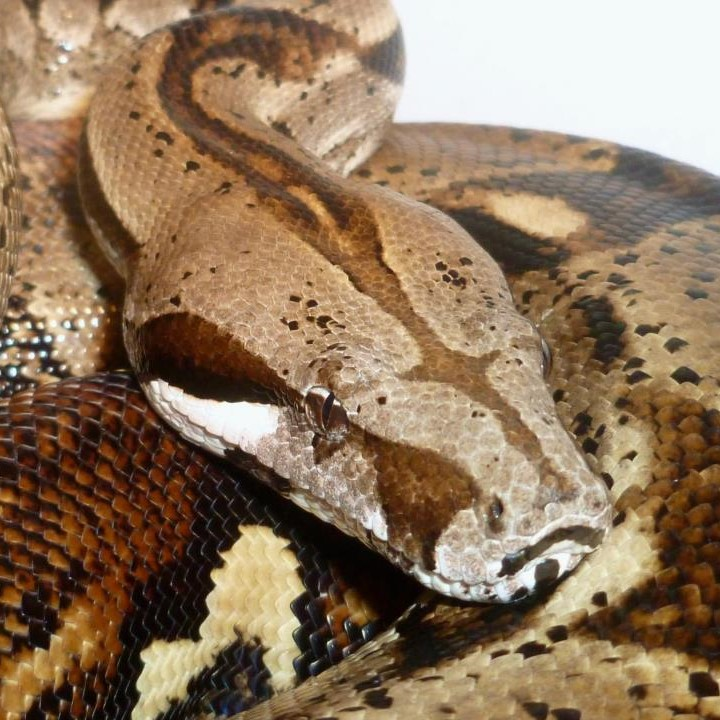 [Geoff The Boa - Our Large Gentle Friendly Boa Constrictor Imperator Available On His Own]